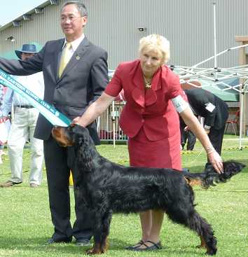 Gordon Setter Triseter Kennels Jai Junior In Show 2011