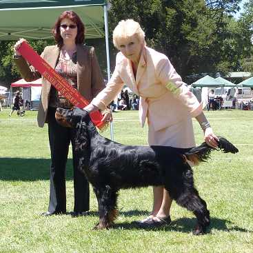 Gordon Setter Triseter Kennels Jai Runner Up In Group Dec 2010
